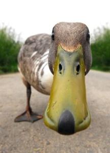 Ducks are always funny.