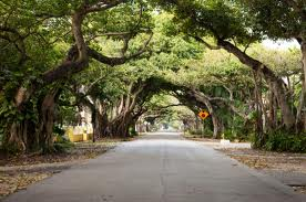 Old Cutler Road, framed by Banyan trees.